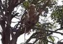 मेरठ के मेडिकल कॉलेज में बंदरों का आतंक, लैब टेक्नीशियन के हाथों से छीने कोरोना टेस्ट के सैंपल