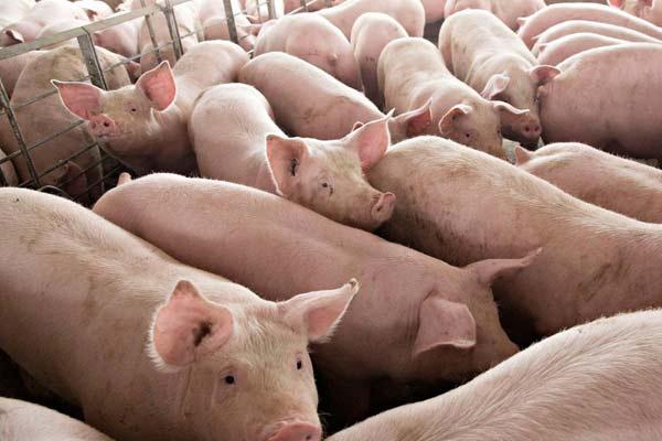 भारत के इस राज्य में 12 हजार सूअरों को मारने का आदेश जारी, जानें इसके पीछे का कारण
