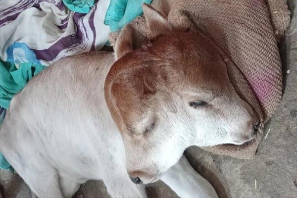 कुदरत का अजीब करिश्मा: दो मुंह, दो कान और चार आंखों वाले बछड़े ने लिया जन्म, देखने के लिए उमड़ी भारी भीड़