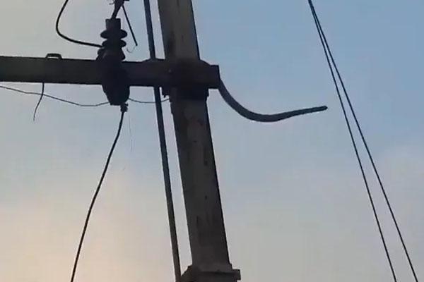 जब हाइवोल्टेज लाइन पर चढ़ें 10 फीट के सांप को लगा जोरदार करंट, VIDEO देखकर सिहर उठेंगे आप