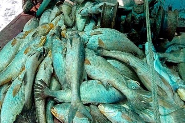 Read more about the article रातोंरात चमकी मछुआरों की किस्मत, 'घोल' मछली से कमाए 1.33 करोड़ रुपये